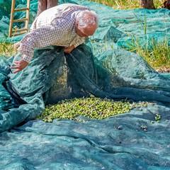 Raccolta delle Olive di Puglia