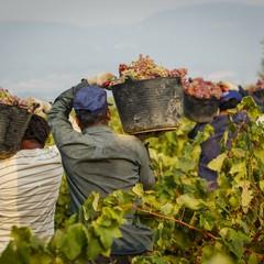 Raccolta di Uva in Puglia
