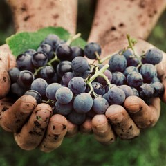 Uva di Puglia