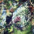 Frantoi aperti: giornata dedicata all'extra vergine di oliva