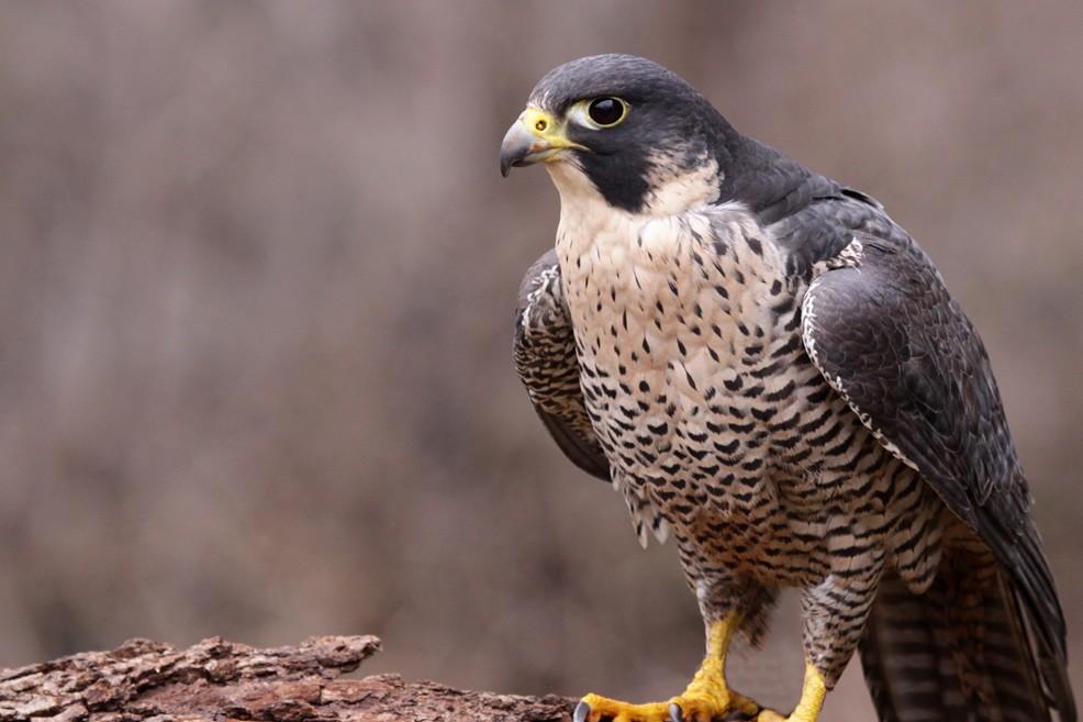 Il falco è comune nel Parco dell'Alta Murgia